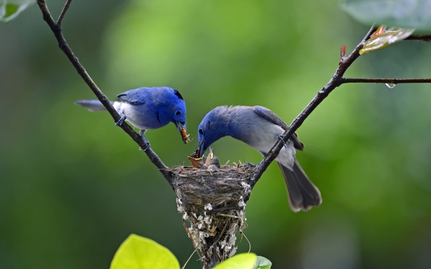 Blue-feathers-birds-father-and-mother-feeding-little-birds_1920x1200